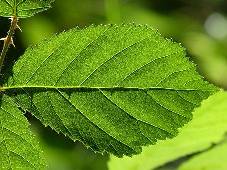 Leaf, Backlight, Translucent, Blackberry, Ramifications