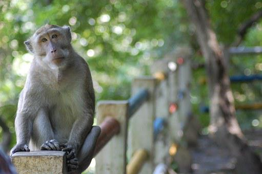 Monkey, Semarang, Kreo Cave, Central Java, Indonesian