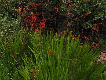 Chasmanthe, Schwertliliengewaechs, Iridaceae