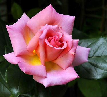 Climbing Rose, Heavily Scented, Compassion, Beautiful