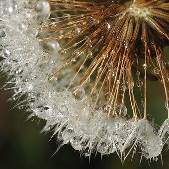 Dandelion, Dewy, Droplets, Dew, Dew-drop, Nature