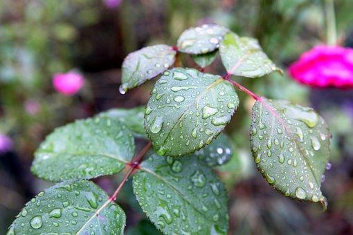 Rain, Drops, Plant, Foliage, Rose, Drop Of Rain