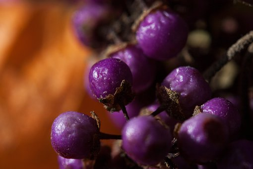 Berries, Nature, Plant, Autumn, Violet, Orange, Flora
