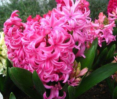 Hyacinth, Pink, Rain, Drop Of Water, Flowers, Leaf
