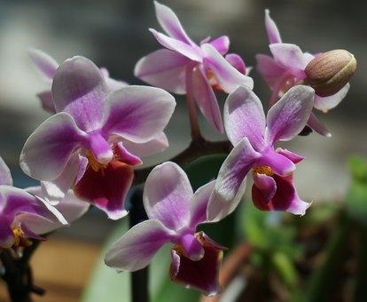 Hybrid Phalaenopsis, Phalaenopsis, Orchid, White, Pink