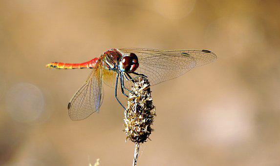 Insect, Red, Flying Insect, Beauty, Red Dragonfly