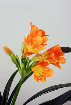 Clivia Miniata, Belt Sheet, Klivie