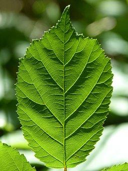Leaf, Blackberry, Ramifications, Backlight, Translucent