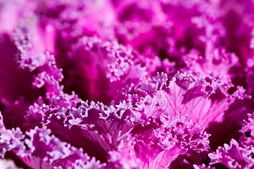 Purple, Plant, Abstract, Background, Cabbage