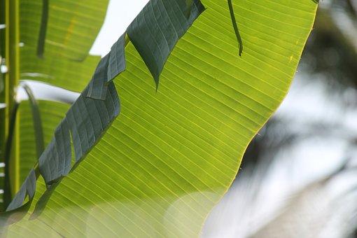 Banana, Leaves, Plants, Trees, Long, Large, Leafy