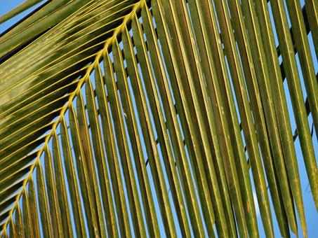 Coconut Tree, Leaves, Leafy, Abstracts, Palms, Single