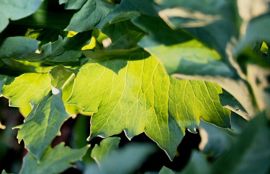Green Leaves, Sun Play, Luminous, Light Green, Sunlight