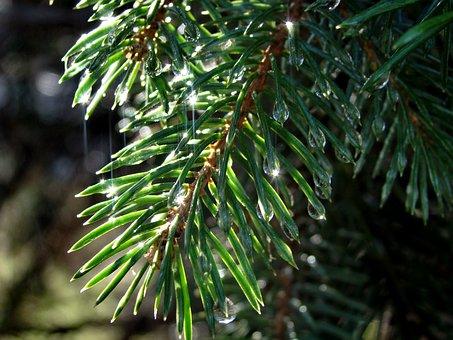 Spruce, Needle, Branch, Drops, Tree, Nature, Rain