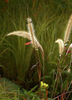 Grass, Ornamental Grass, Vegetation, Nature, Autumn