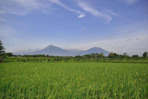 Rice Field, Countryside, Agriculture, Rice, Indonesia