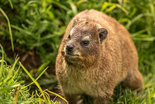 Hyrax, Animal, Africa, South Africa, Cape Town, Fur