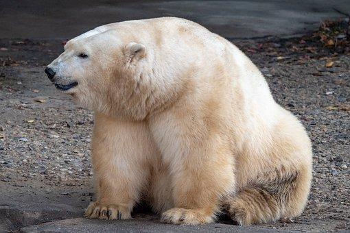 Zoo, Polar Bear, Bear, Animal, Animal World, Predator