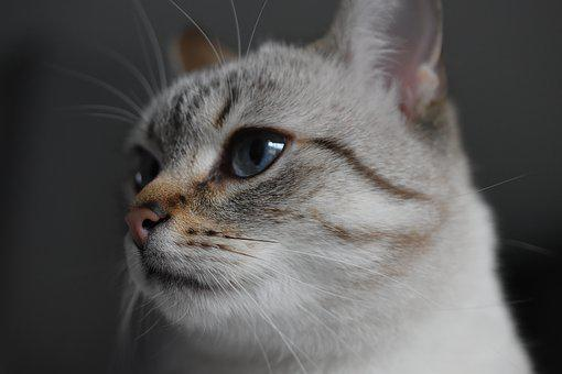 Cat, Animal, Blue Eyes, Fur, Soft, Mammals, Whiskers