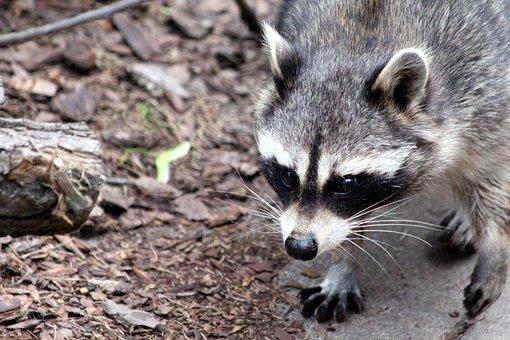 Raccoon, Procyon Lotor, Animal, Funny, Mammal, View