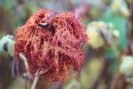 Bile, Rose Galle, Winter, Spun Yarn