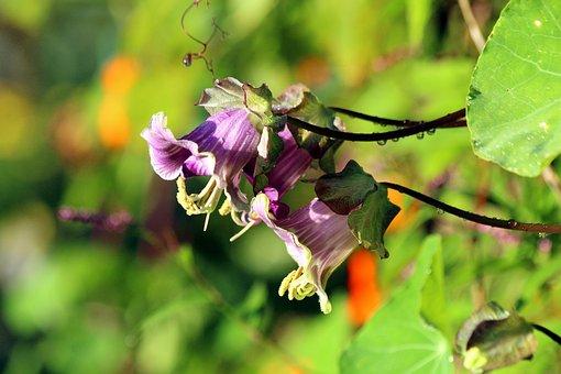 Cobia, Flower, Bloom, Green, Purple, Plant