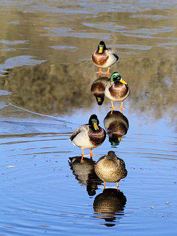 Ducks, Ice, Water, Reflection, Winter, Colourful