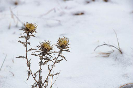 Dry Plant, Winter, Nature, Plant, Dry, Flower, Close Up