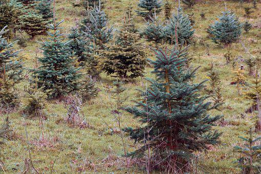 Christmas Trees, Spruce, Firs, Young, Small, Beat