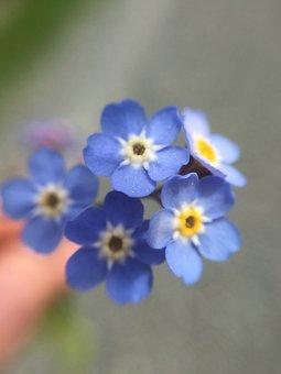Forget-me-not, Flower, Blue, Spring, Blossom, Summer