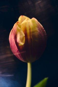 Tulips, Drip, Flower, Tulip, Nature, Plant