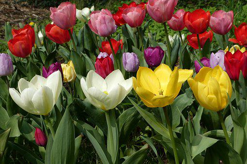 Flower, Tulips, Garden, Spring, Nature, Flowers
