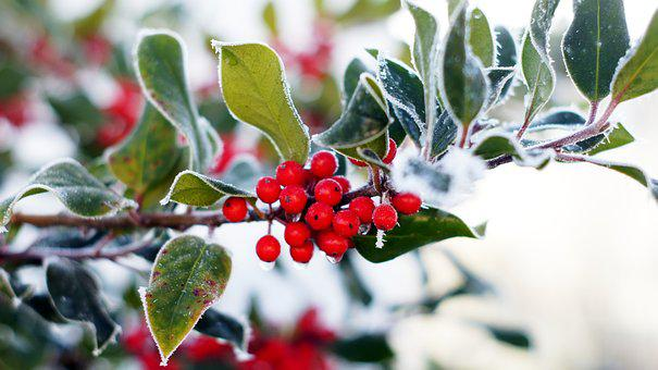 Holly, Evergreen, Advent, Christmas, Hoarfrost, Frost