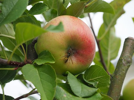 Apple, Insect, Autumn, Nature, Apple Tree, Wasp, Fruit