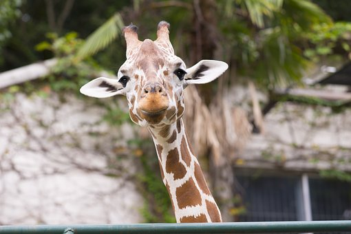 Giraffe, Animal, Neck, Zoo