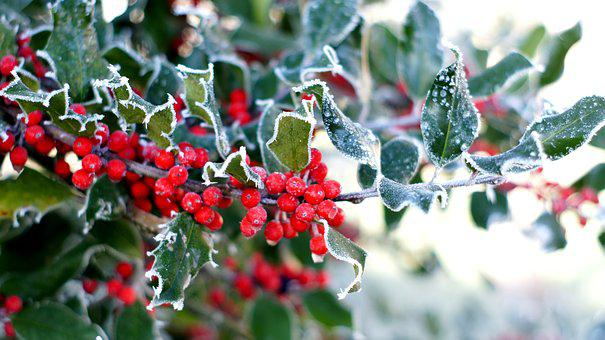 Holly, Berries, Winter, Christmas, Evergreen, Advent