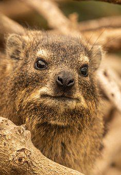 Hyrax, Portrait, Animal, Africa, South Africa