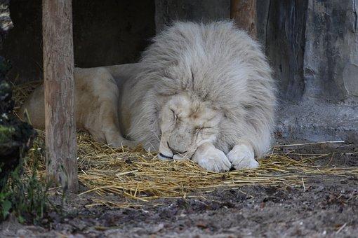 Lion, White Lion, Zoo, Moons, Predator, Carnivores