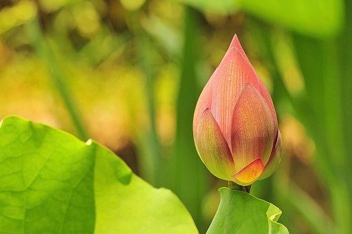 Great Prints Philippines, George Paris, Lotus Flower