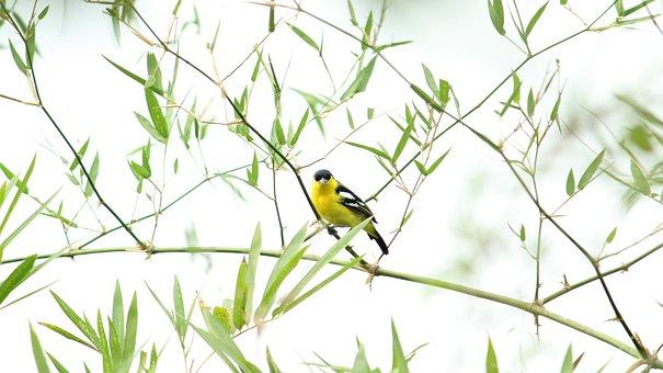 Indian, Bird, Iora, Male, Avian, Nature, Wildlife