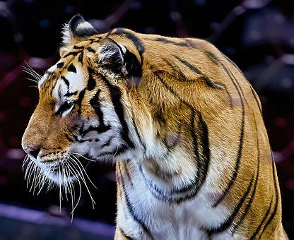 Tiger, Animal, Cat, Predator, Dangerous, Fur, Mammal