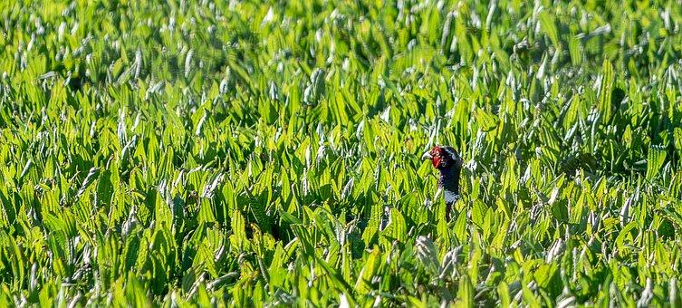 Pheasant, Hidden, Meadow, Grass, Green, Nature, Species