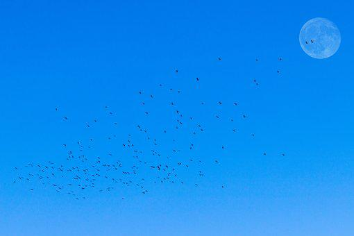 Flock Of Birds, Moon, Morning, Nature, Bird Flight