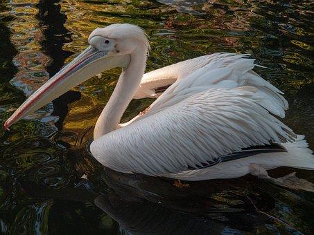 Animal, Pelikan, Bird, Nature, Zoo, Water, Feather
