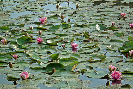 Water Lilies, Flowers, Pink, Water Lily, Nature