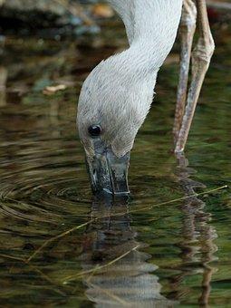 Asian, Openbill, Stork, Bird, Avian, Nature, Bill, Big