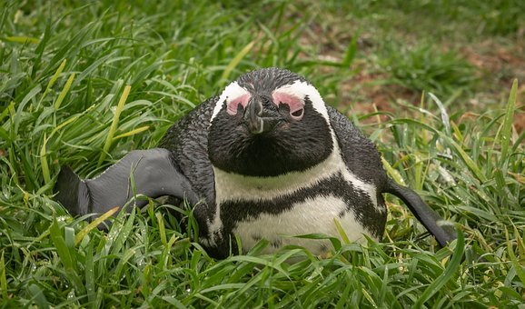 Penguin, Donkey Penguin, South Africa, Boulders Beach
