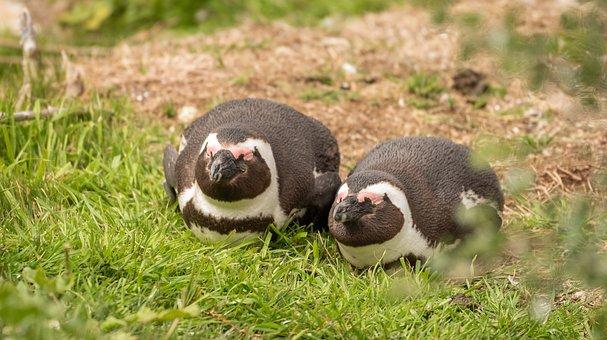 Penguin, Penguin Couple, Donkey Penguin, South Africa