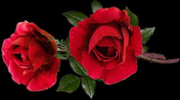 Roses, Red, Perfume, Romantic, Flowers, Garden Nature