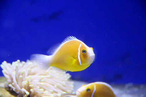 Amfiprion, Clown Fish, Pink Clown, Fish, Aquarium