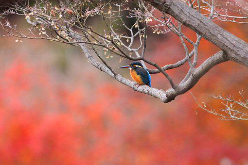 Bird, Foliage, Autumn Color, Kingfisher, Rest, Nature
